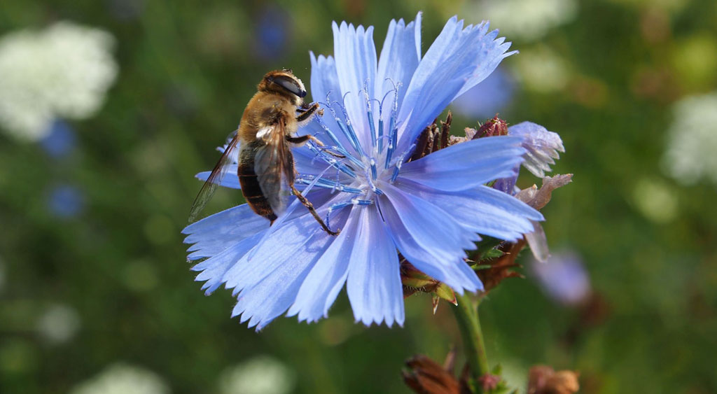 Biene an blauer Blüte