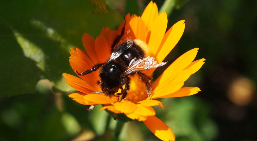 Biene an gelber Blüte